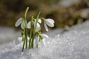 Spring Flower Snowdrop